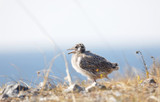 Closeup of a cute Seagull chick bird (latin: Laridae) walking on a cliff - 232362016