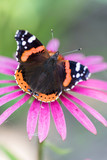 Butterfly Admiral on a pink flower closeup