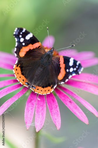 Butterfly Admiral on a pink flower closeup - 232363849