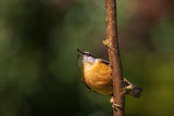 Eurasian or wood nuthatch bird (Sitta europaea) perched on a branch, foraging in a forest - 232365400