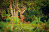 Male red deer cervus elaphus rutting and roaring