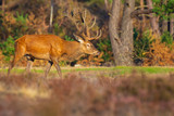 Male red deer, cervus elaphus, during rutting season
