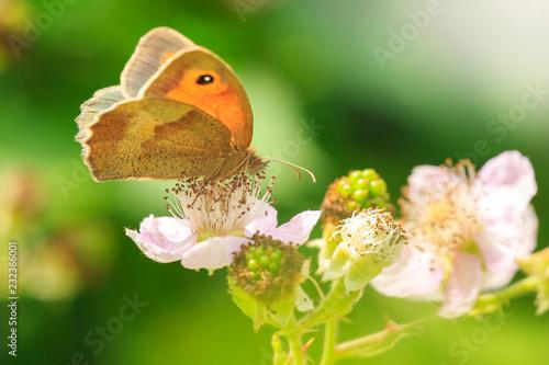 Łąkowy brown motyl Maniola jurtina karmi nektar