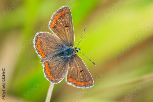 Zbliżenie brown Argus motyl, Aricia agestis rsting w łące