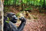Gorilla in jungle.