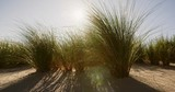 Handheld slow motion shot of dune grass on a beach blown by the wind on a sunny day. The sunlight shines through. - 232386271