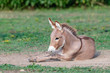Leinwanddruck Bild - Playful young donkey playing in the dirt with a shallow depth of field and copy space
