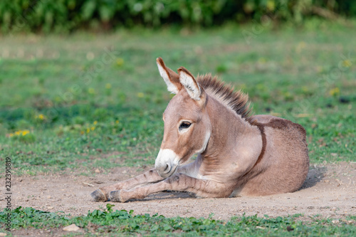 Leinwanddruck Bild Playful young donkey playing in the dirt with a shallow depth of field and copy space