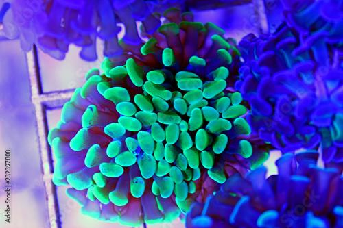 Leinwandbild Motiv Green Euphyllia branhced hammer lps coral in reef aquarium