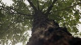 Up-shot of tree trunk. Rack focus along trunk,. Green leaves on branches of the tree. - 232403092