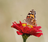 Superb butterfly resting on a flower