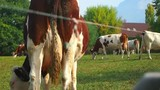 A cow that eat grass and move his tail in the countryside - 232425029