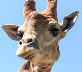 Portrait of a giraffe in a zoo - 232428028