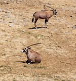 Antelope grazes in the wild - 232428074