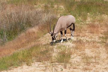Antelope grazes in the wild © schankz