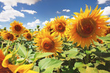 Sunflowers in the field, summertime agricultural background