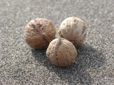 walnuts on sand background - 232430270