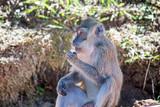 Singe dans la foret tropical - monkey in indian ocean - 232435407
