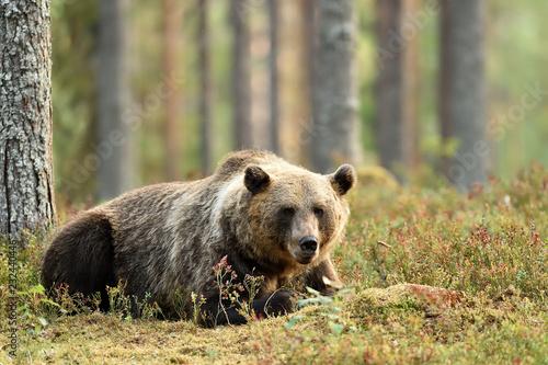 niedźwiedź odpoczywa w lesie. duży niedźwiedź brunatny w leśnej scenerii.