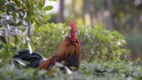Rooster crows after cleaning his feathers. Close up of a beautiful cock outdoors among green leaves. Profile portrait of a rooster in a garden  - shallow depth of field, nice bokeh, 25 fps, with sound - 232442491