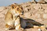 Lioness resting at a waterholein Kgalagadi Transfrontier Park in South Africa - 232453608