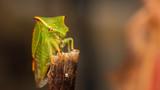 Cicadelle bison - Stictocephala bisonia - 232454026