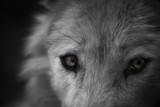 Dans les yeux du loup