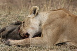 Lioness with a warthog kill - 232467000
