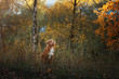the dog in the woods park . Autumn mood.Pet on nature. Nova Scotia duck tolling Retriever, Toller
