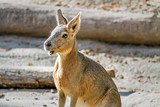 The Patagonian mara is a relatively large rodent in the mara genus. It is also known as the Patagonian cavy, Patagonian hare or dillaby - 232468846
