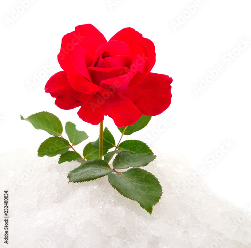 Red rose on snow.