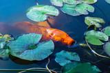 Japan Koifish Carp in Koi pond - 232485637