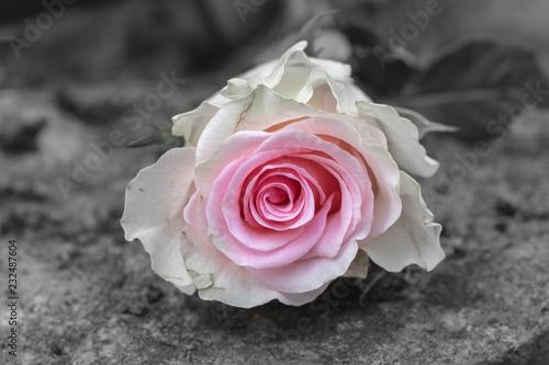 Rosa Rose erblüht