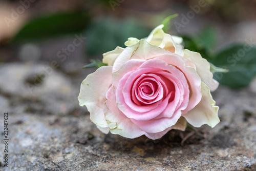 Rose auf Stein