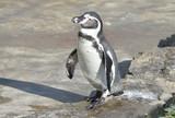Пингвин Гумбольдта. - 232508465