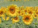 Sunflower on a field