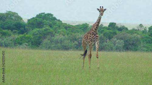 Wall mural A closer look as a giraffe walks and chews across the grassland making its way towards the camera