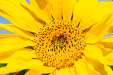 Sonnenblume - 232524600