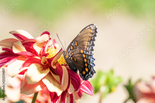 Colorful butterfly landed on a dahlia