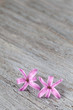 Tiny little pink hyacinth flowers on weathered wood background, close-up  with copy space