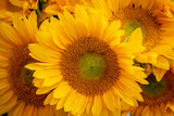Close up view of a bunch of sunflowers.
