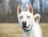 A cream colored Siberian Husky dog with blue eyes and a happy expression