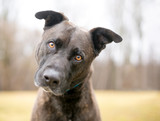 A brindle mixed breed dog listening with a head tilt - 232542677