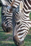 Beautiful close up of a zebra with a shallow depth of field