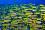 Yellow school of fish © The Ocean Agency