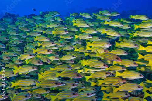 Leinwandbild Motiv Yellow school of fish