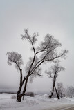 willow tree in winter
