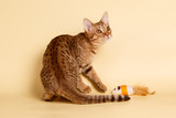 Ocicat spotted cat on colored backgrounds - 232555480