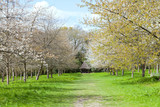 Walking path between white flowering cherry and fruit trees with young green leaves, spring garden in rural English countryside, on a sunny day , - 232557670