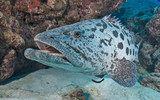 Grouper up close in Australia - 232560015